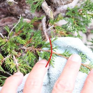 真柏の杉葉