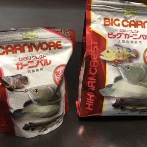 アロワナ、念願のビッグカーニバルの餌付けに成功