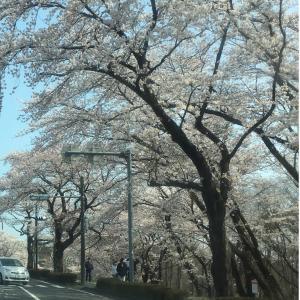 桜満開です。母の転院をしてきました。