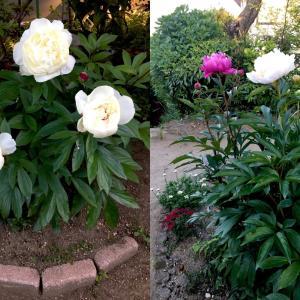 (庭の花)芍薬(シャクヤク)が咲いたよ