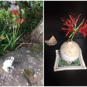 (庭の花) 彼岸花(ヒガンバナ・曼珠沙華)が咲きました
