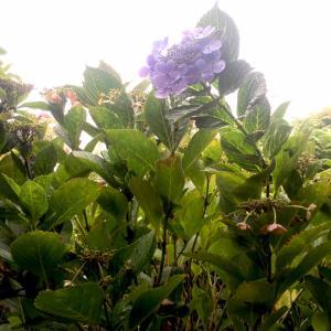 (庭の花)秋色紫陽花と秋咲き紫陽花