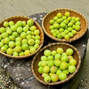 (庭の花) 梅の実を収穫したよ