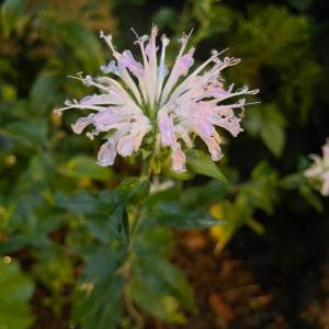 (庭の花)モルダナ(タイマツバナ・ベルガモット)が咲き始めました
