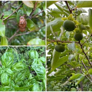 セミの抜け殻とバジルと柿の実