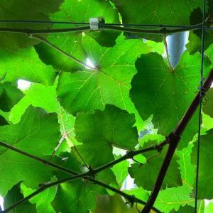 緑のカーテンを始めよう!朝顔・インゲン・つるむらさき【植物男子第5話】