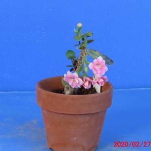 カランコエ(ピンク)の花