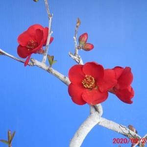 盆栽3月の手入れ&ボケ(黒潮)の花