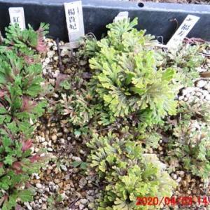 4月のイワヒバ 挿し芽床から移植紅孔雀。楊貴妃