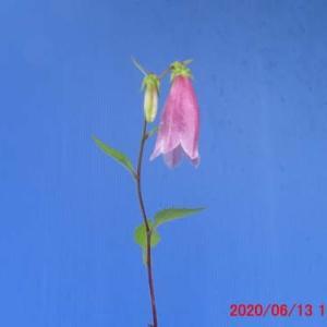 蛍袋(ホタルブクロ)の花