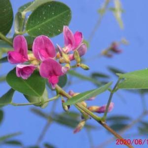 木萩(キハギ)の花