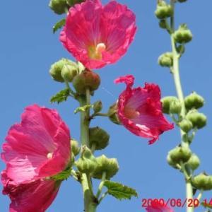 青空に映える立葵(タチアオイ)の花
