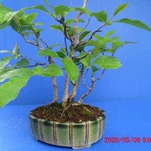 ヒメシャラ・二度目の芽摘み&整枝