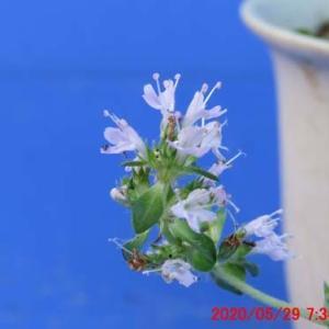 イブキジャコウソウの花