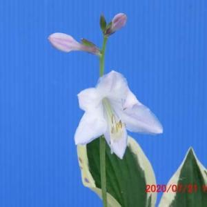 擬玉珠(パトリオット)の花