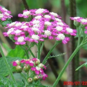 セイヨウノコギリソウ(西洋鋸草)の花