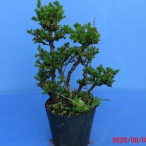 杉・八房杉1・2・3の芽摘み