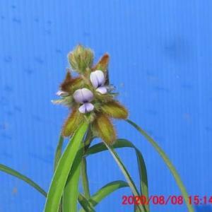 早くも咲いてきた狸豆(タヌキマメ)の花