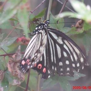 蝶・アカボシゴマダラ 要注意外来生物