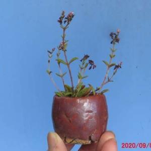 多肉植物・クラッスラ・クーベリーの植え替え