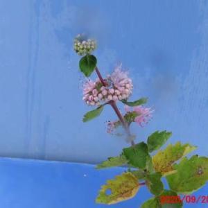 ダンギク(段菊)の花