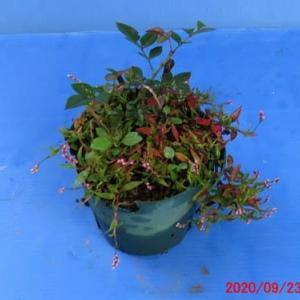 草物盆栽6・ヒメタデの花