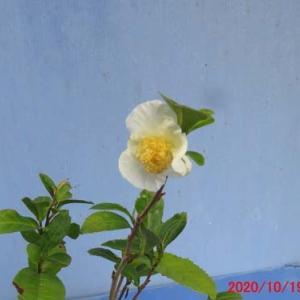 友人から貰った実生3年の茶の花