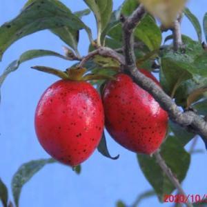 鮮やかなロウヤ柿(楊貴妃)の根伏せ6年目 の実