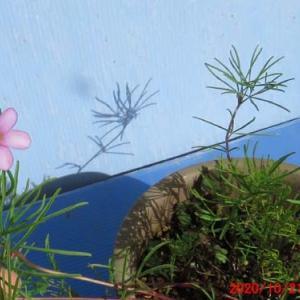 オキザリスNO9・ペンタフィラの花