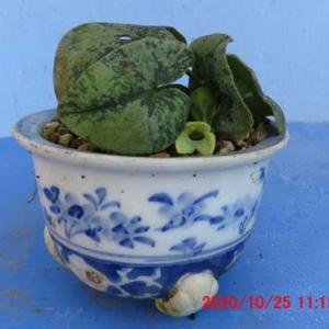 カンアオイ10月の敷島の花
