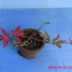 蔦・ヘンリーヅタの紅葉