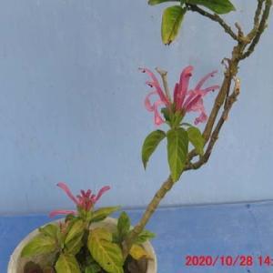盆栽11月の手入れ&サンゴバナ(珊瑚花)の花