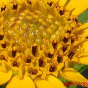 盆栽12月の手入れ&ヤーコンの花