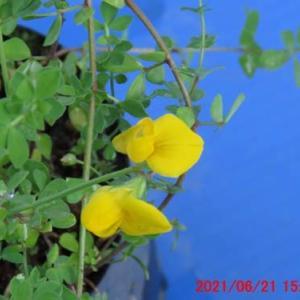 都草(ミヤコグサ)の花