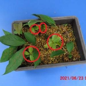 ヒメシャラ・発芽&挿し木