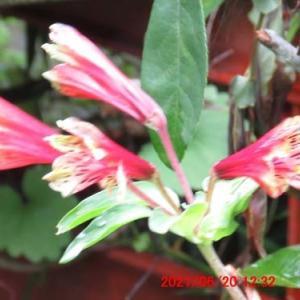 水仙の名前があるが水仙でない百合水仙(ユリズイセン)の花