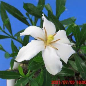 クチナシ C(キヨホマレ)の花