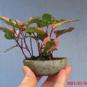 草物盆栽4・斑入りイタドリの葉刈り