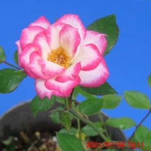 バラ・ミニバラの花