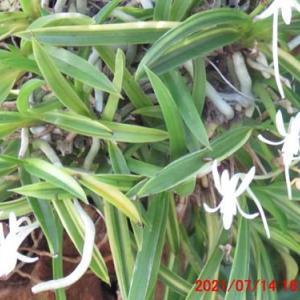 風蘭(フウラン)の花