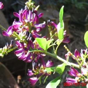 真夏に咲く台湾醋甲藤(タイワンサッコウフジ)の花