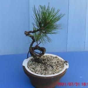 黒松Gをザル植えの芽切