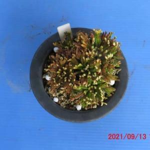 9月のイワヒバ・菊水殿