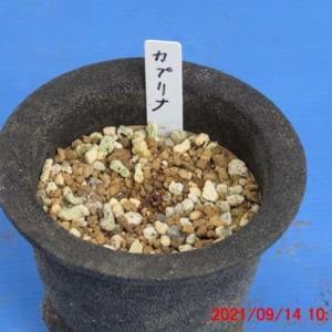 オギザリスNO14・カプリナの植え替え&2番花