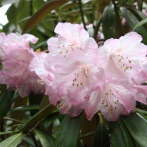 深山神秘に咲く花、たくさんの花を咲かせる華麗な花の女王