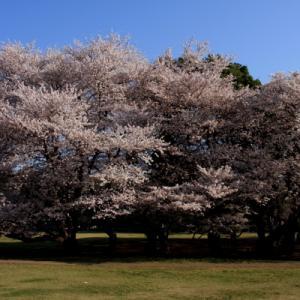 ソメイヨシノの樹齢と桜の木の寿命
