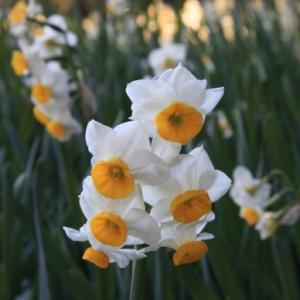 「希望」の象徴   スイセンの花の美しさ