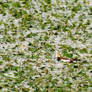 梅雨の合間のライファー.... #レンカク