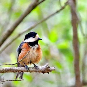 普通種の留鳥でしたが.... #ヤマガラ