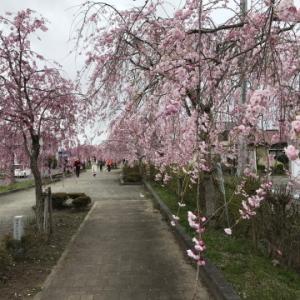 しれだれ桜はほぼ満開だけど
